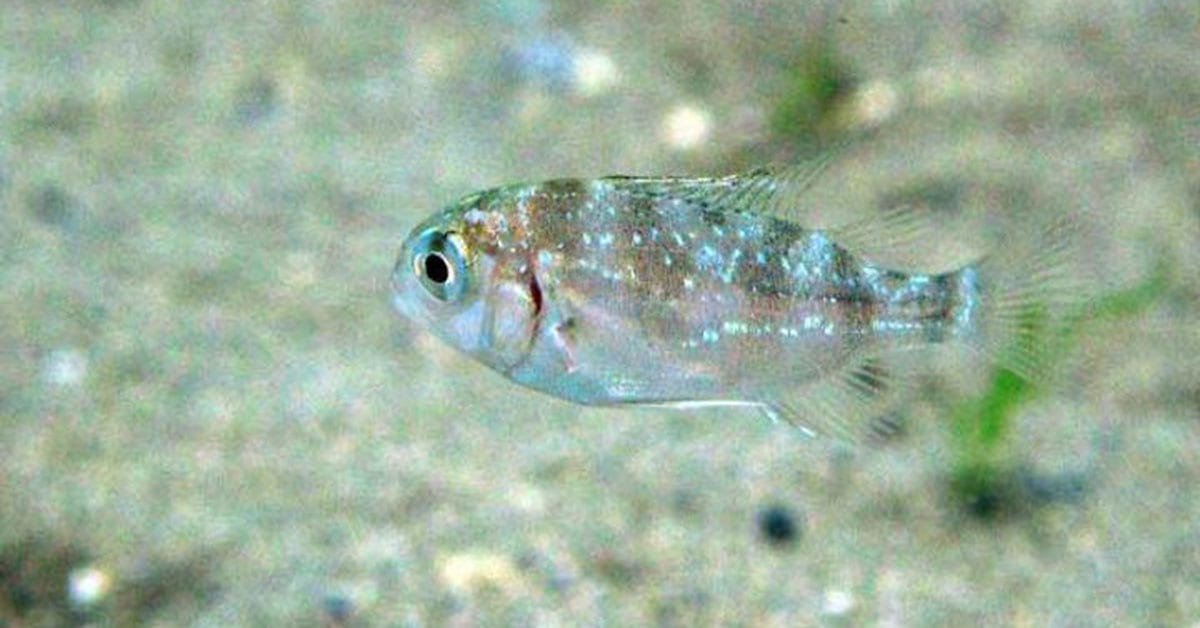 Baby snapper swimming above a sandy seafloor