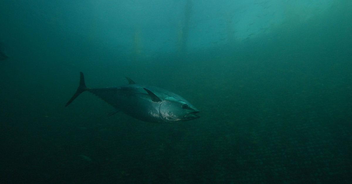 A large tuna fish swims through dark murky blue water