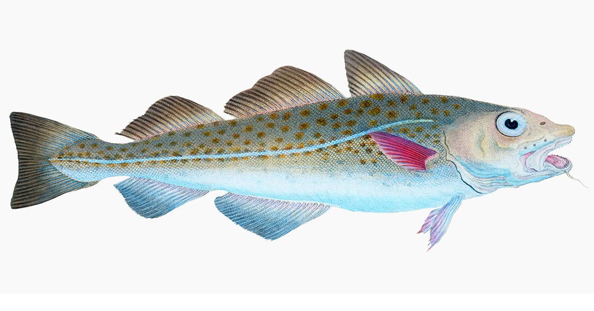 The Atlantic cod (Gadus Morhua) illustration from The Natural Hi