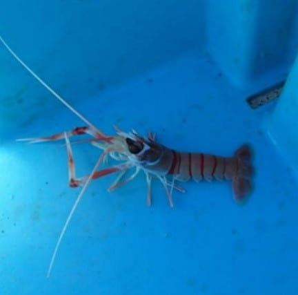 A lobster-like scampi individual sits in water in a blue tub