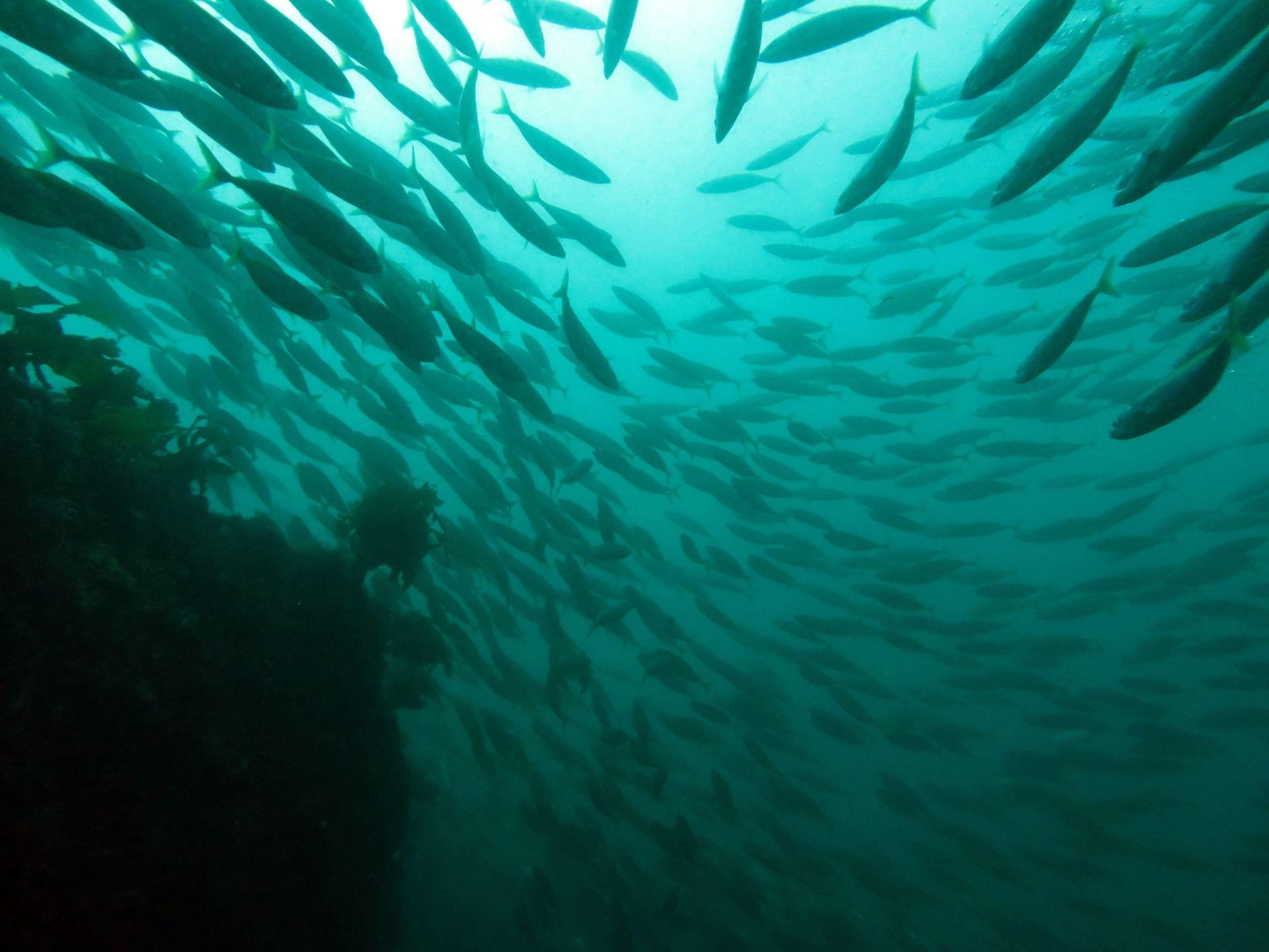A school of koheru fish silhouetted in greenish water