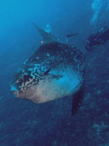 Sunfish swimming on a reef, trailled by a diver. The sunfish's mouth is agape