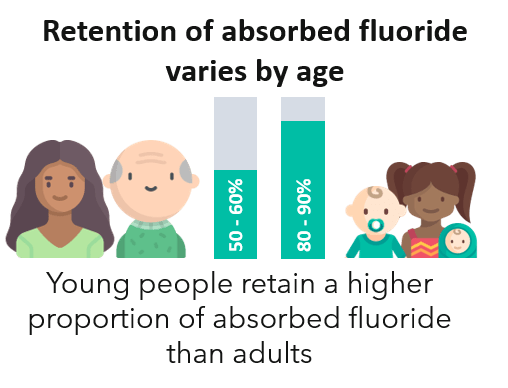 Young people retain a higher proportion of absorbed fluoride than adults