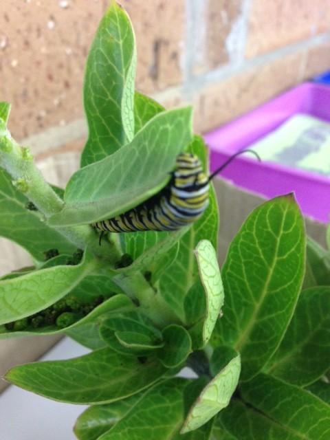 Class Caterpillar Coco
