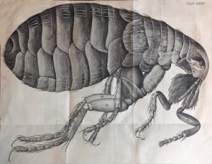 A flea (Schema 34)