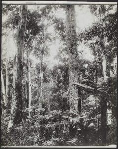 Bush Scene Candels, Wyndham New South Wales, 1936