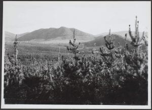 Forestry scene, ACT, 1945