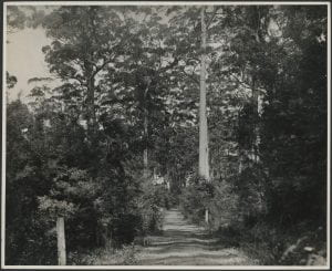 Western Australia In Mount Karri Timber Country at Pemberton, c. 1933-1936