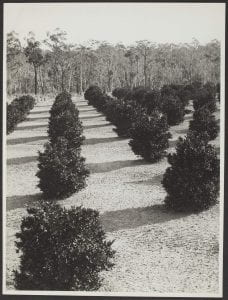 A mandarin orchard at Windsor, NSW, September 20, 1934