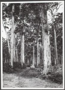 Virgin Karri forest, Pemberton, Western Australia, 1955