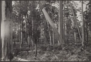 Karri tree falling, Pemberton, July 11, 1938