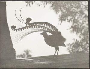 Lyrebird silhouette, 1949