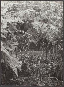 Hidden microphone at a typical Lyrebird's mound, 12 November 1923