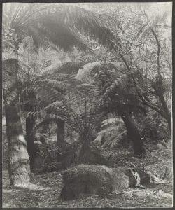 Lyrebird's natural habitat, Sherbrooke Forest, 12 November 1923