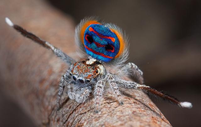 Peacock spider dance - photo#27