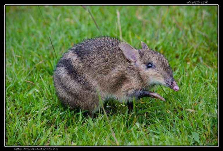 Once common, the Eastern-barred Bandicoot is now extinct on the Australian mainland.  Photography by Kellie Dene, My Wild Life. Permission given by photographer.