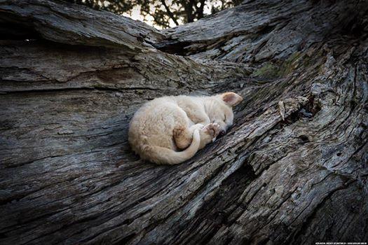 Title: Dingo dreaming Photographer: Doug Gimesy https://m2.facebook.com/profile.php?id=61056502399&ref=stream&__tn__=C Licensed under creative commons.