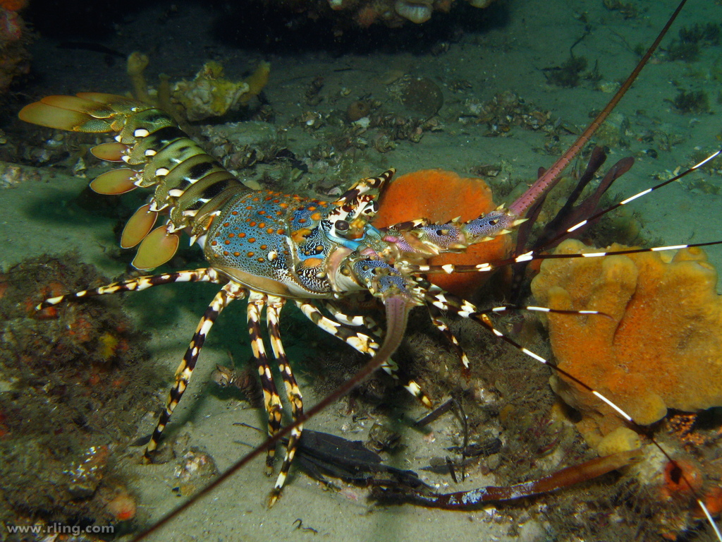 The Secret Life of Painted Crayfish…. – Scientific Scribbles