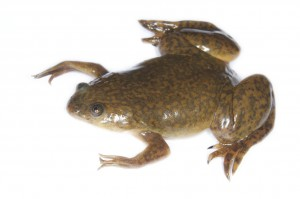 African clawed frog (Xenopus laevis). Image by Brian Gratwicke [CC BY-NC-SA 2.0] from flicker.