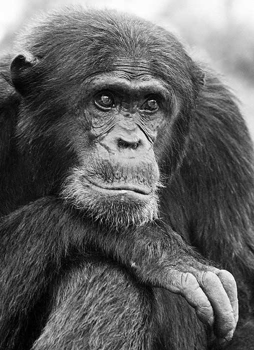 Chimpanzee Sperm Human Spem