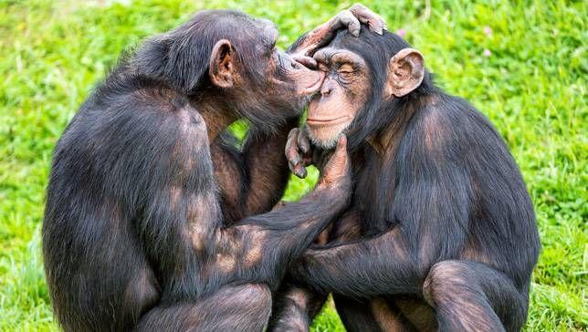 chimp-grooming
