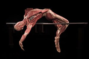 Athletic display possibilities at the Body Worlds exhibition. Source: Flickr