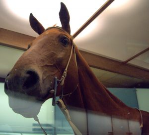 The real Phar Lap's body at the Melbourne Museum. Source: Flickr