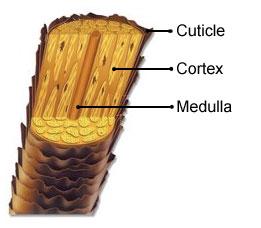 Anatomy of the hair shaft.