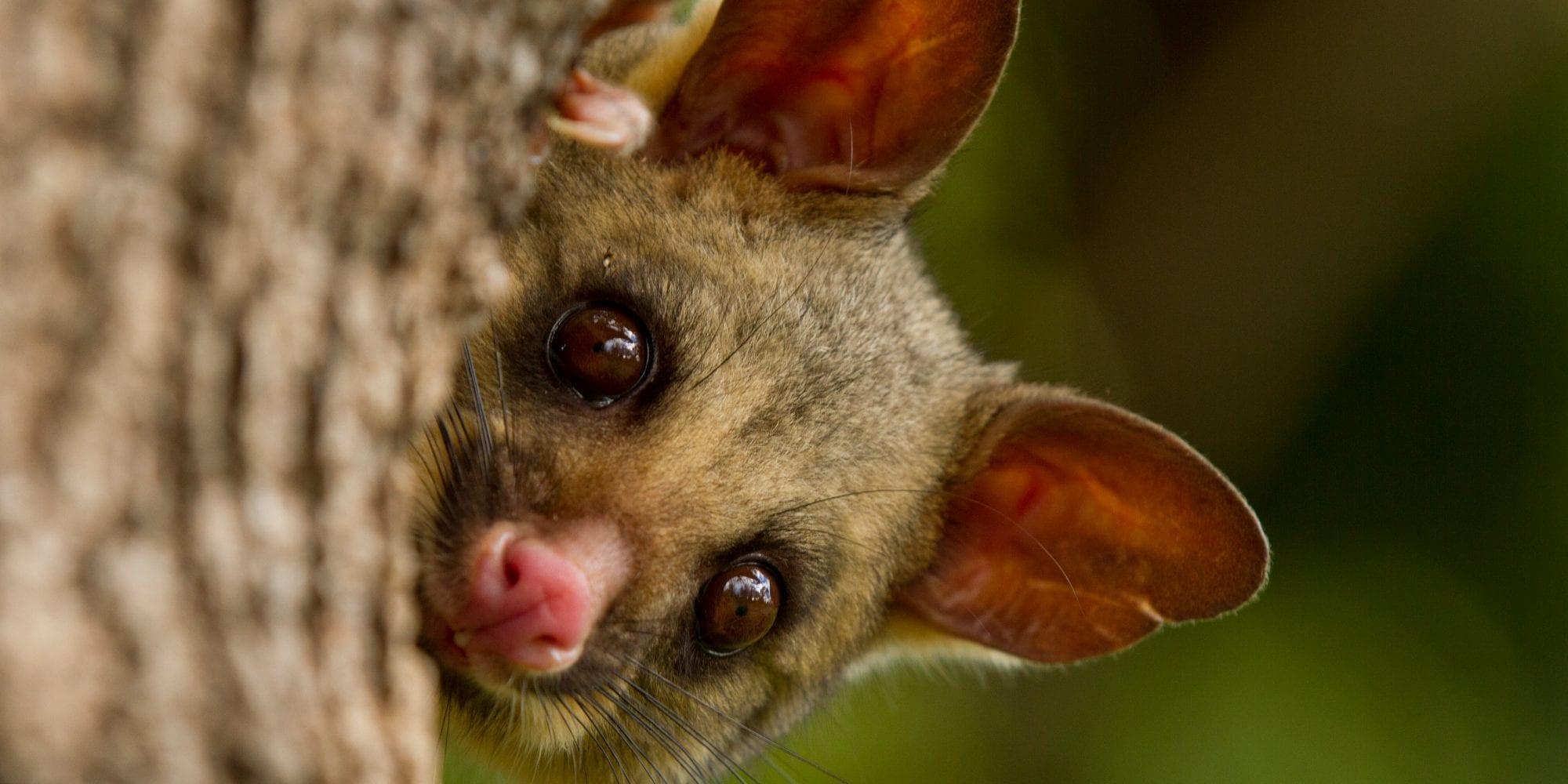 australian animals abroad  u2013 scientific scribbles