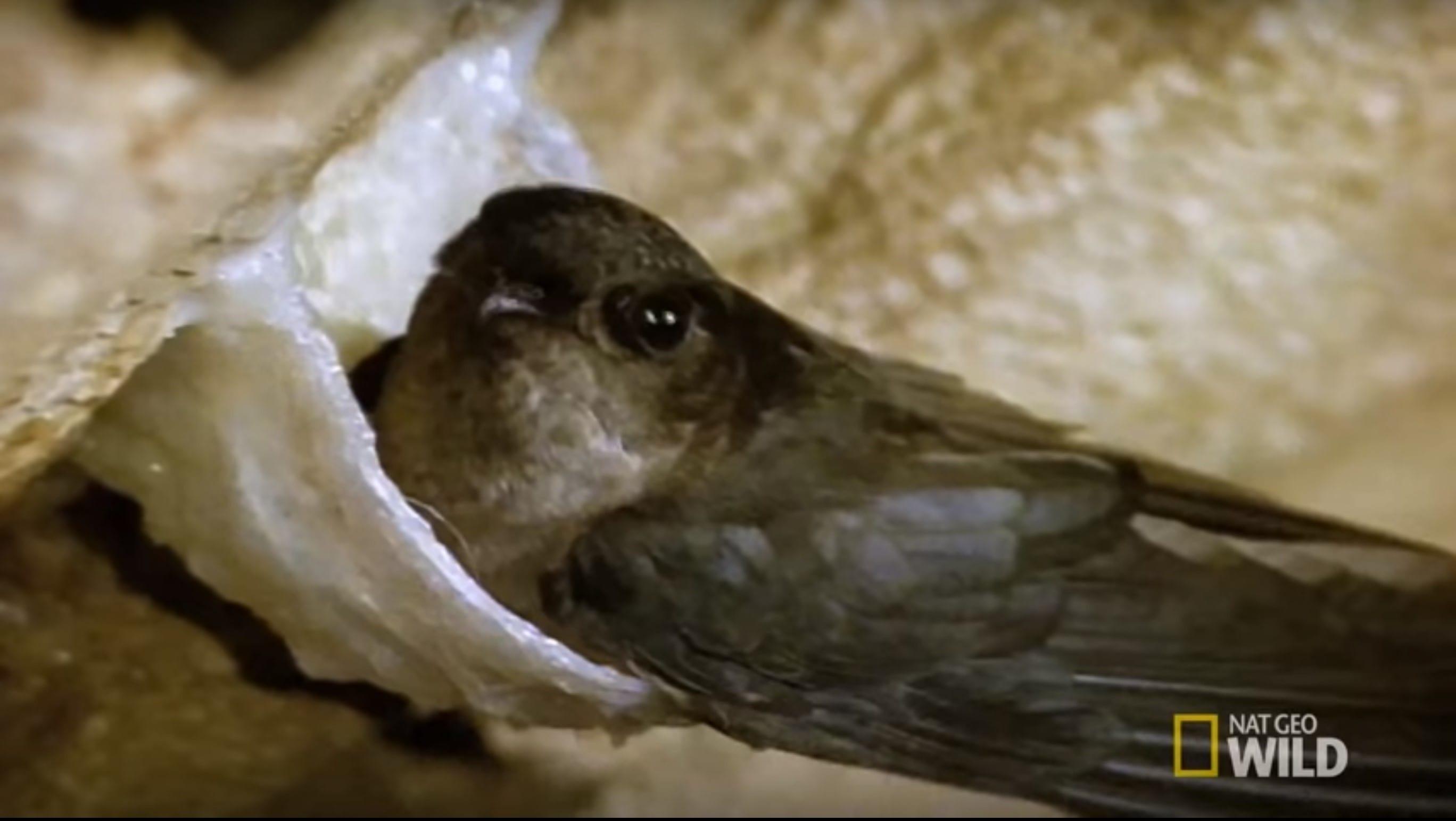 5 PERKARA WOW MENGENAI SARANG BURUNG WALIT (BIRDNEST)