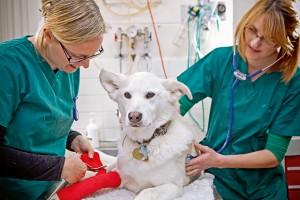 Vet examining a white dog