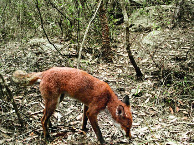 An urban fox.