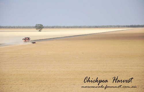 Morvenvale Chickpea Harvest 2009