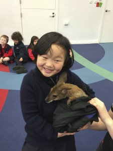Sugar the wallaby