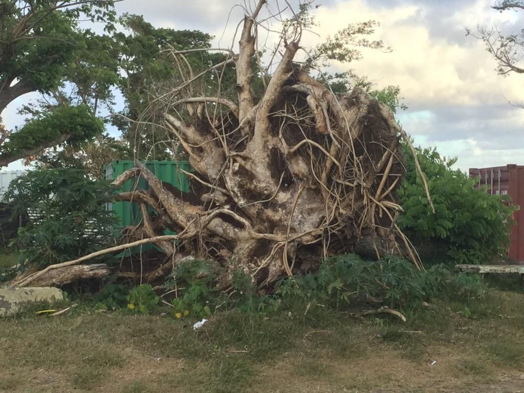 large tree root cyclone damage